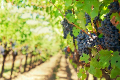 Grape Harvest Racing Along in Sonoma County