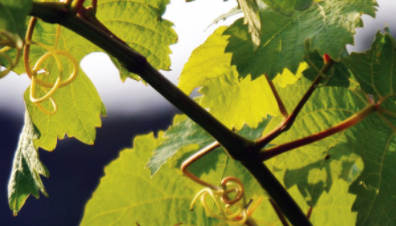 Is English Pinot Noir really getting better