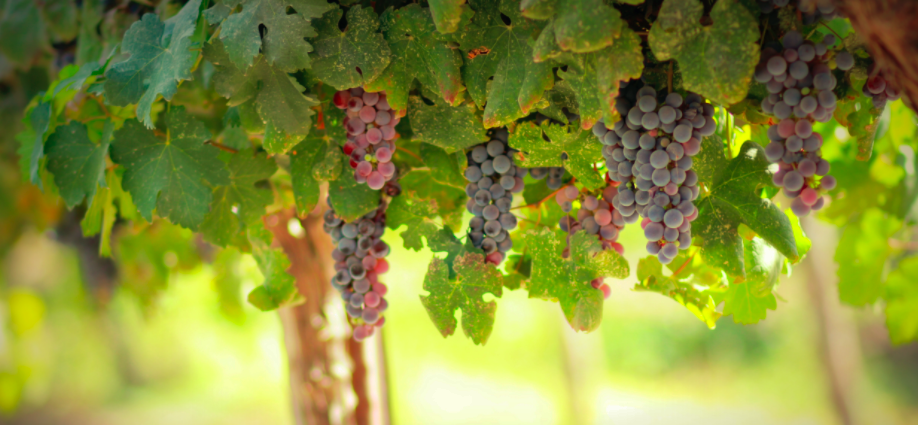wine article Why Does Organic Wine Taste Better